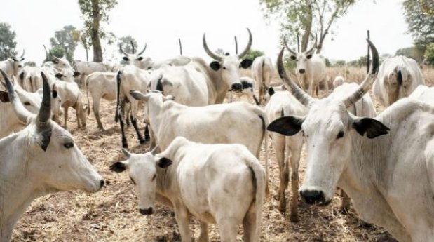 Cows occupy Akure airport runway, prevent flight's landing