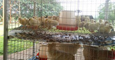 FUNAAB researchers develop first improved indigenous chicken breed