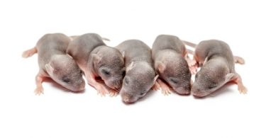 Chinese scientists deliver healthy mouse from same-sex parents