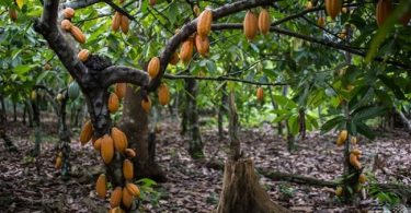 Flooding raise price of cocoa by 21%