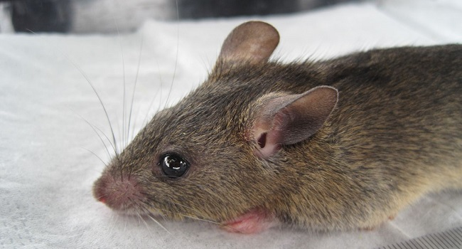 LASSA FEVER: 50 years after first recorded case, Nigeria to host first Int'l conference