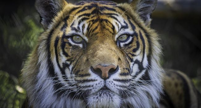 4-year-old Tiger tests positive to coronvirus in US